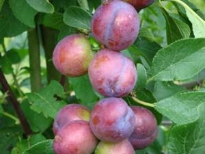 Kildevejens Frugt